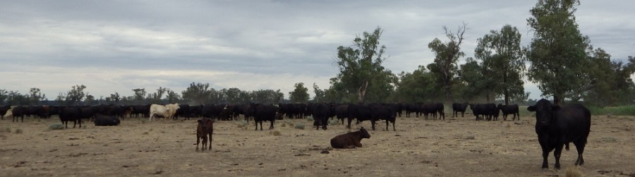 Beef on the hoof at Mulguthrie Station: an introduced species. Photo by Merrill Findlay, 31 December 2015.